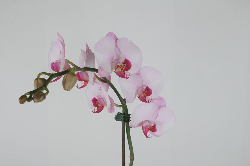 Tall Orchid Plant