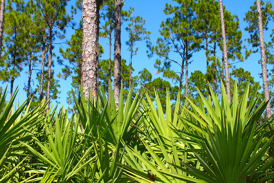 How Does Saw Palmetto Work? What Is Saw Palmetto Used For? Here Are the Answers You Need.