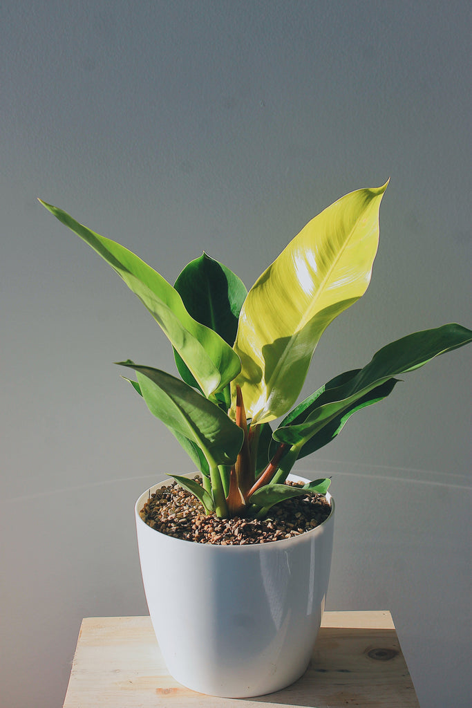 "Philodendron ""lime congo"""