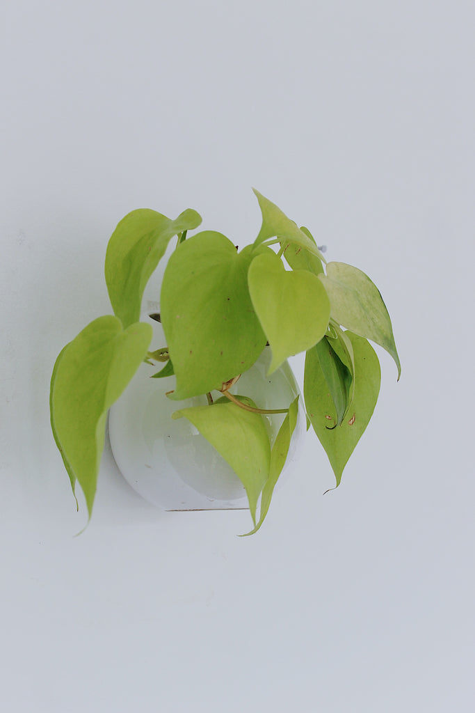 Drop Philodendron