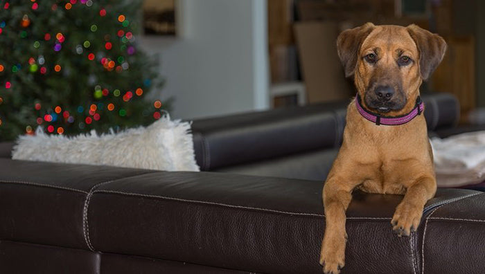 Protecting Your Leather Furniture From Pets