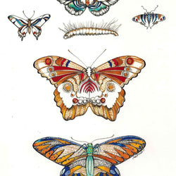 Sarch Clement – Print – Butterfly Specimens