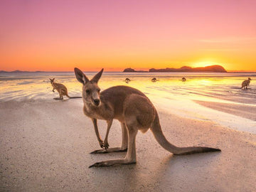 Roo Sunrise