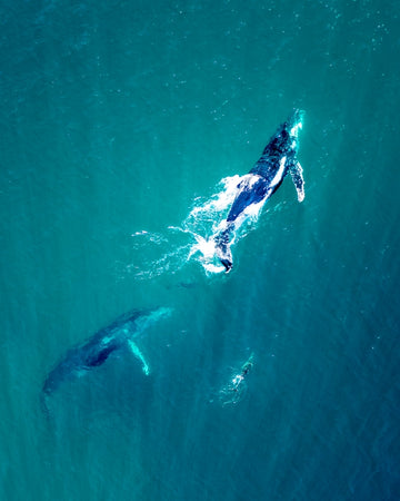 2 whales and dolphin in Australia
