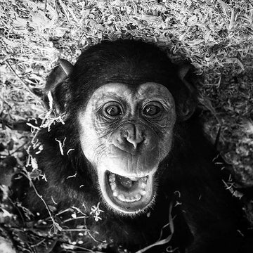 Cheeky Chimp