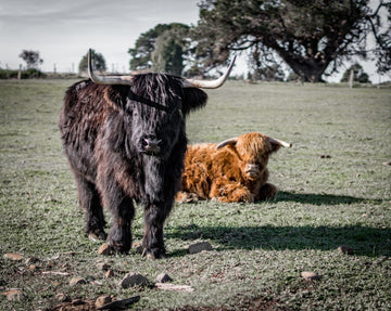 Couple of cool hairy cows
