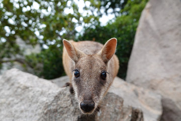 Curious Rock Wallaby