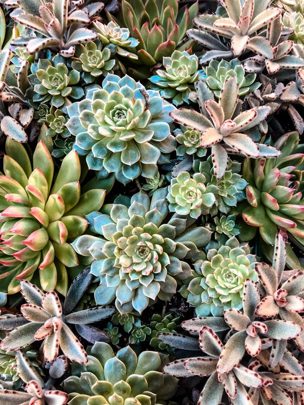 Endless Succulents