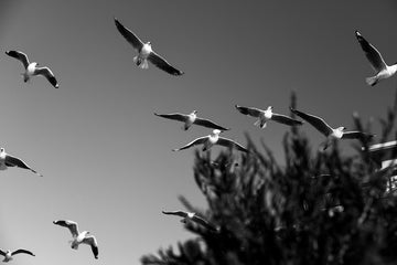 Flying Silver Gulls