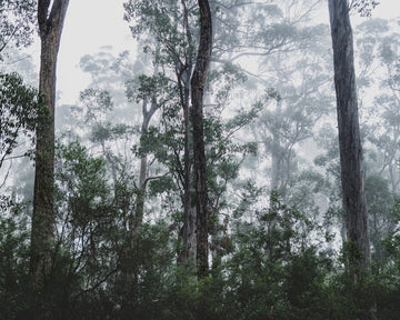 Misty trees in the South of Tasmania