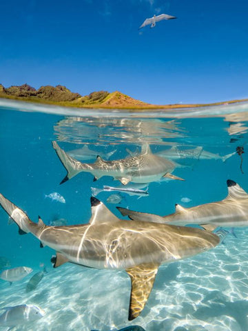 Moorea Reef Sharks