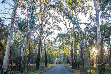 Mountain Gums