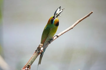 Rainbow Bee Eater Eating a Butterfly