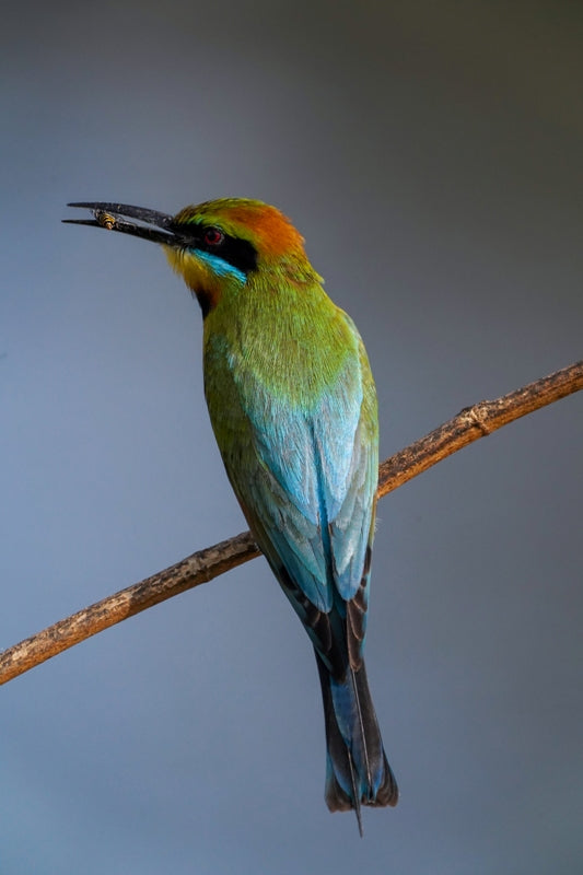 Rainbow Bee Eater with a Wasp