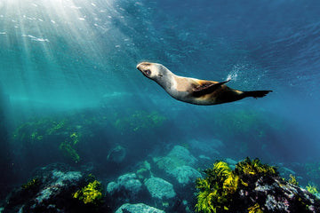 Sunkissed Seal