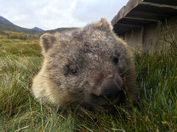 Tasmanian Wombat, Cradle Mountain