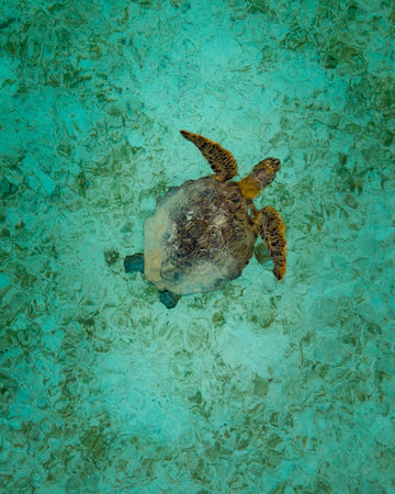 Turtle in Indonesia