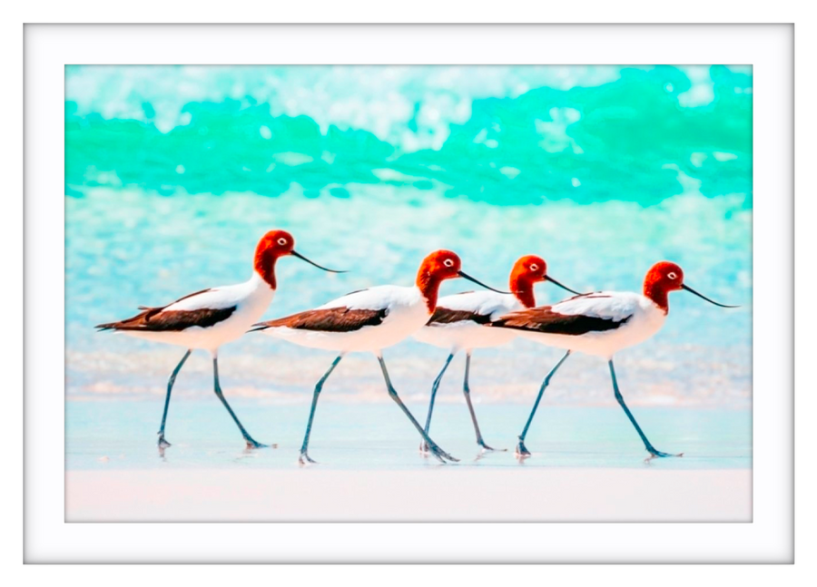 Red Necked Avocets Western Australia