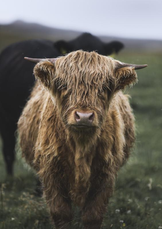 Little Coo