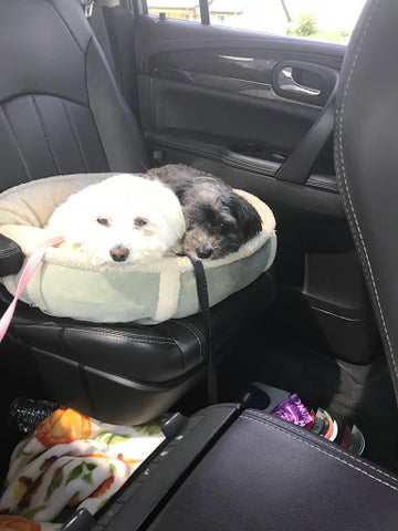 Two dogs sitting in backseat