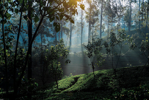 'Light on a tea plantation / Early morning tea plantation and forest near Maskeliya, Sri Lanka' by Paul Kennedy