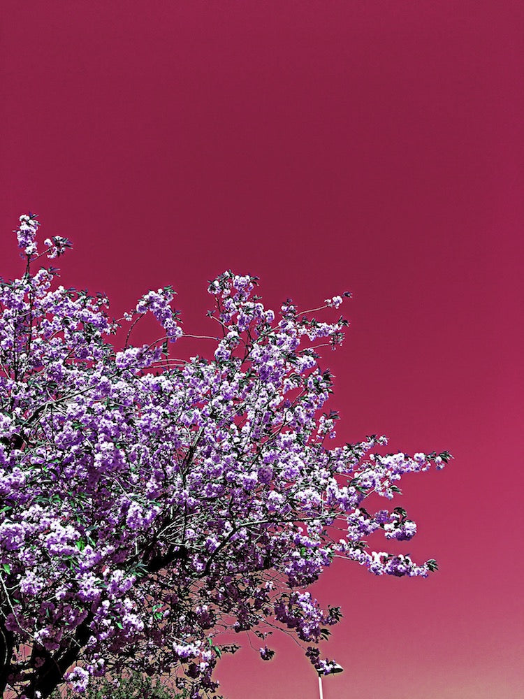 'The whole world's a cherry blossom' by Vigdis Jensen