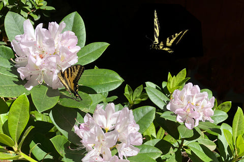 Rich Sanders' Rhododendrons & Butterflies Photo