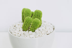 Green cactus in white pots - W-Photographie