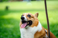 Charger l'image dans la galerie, Selective focus photography of tan and white welsh corgi with brown leash standing on green grass