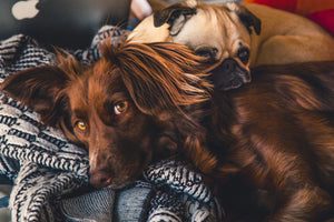 Adorable animals breed canine - W-Photographie