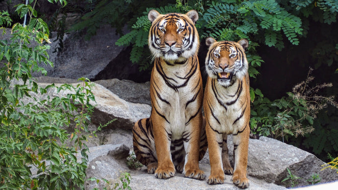 Two orange tigers sitting beside each other by Thomas B.