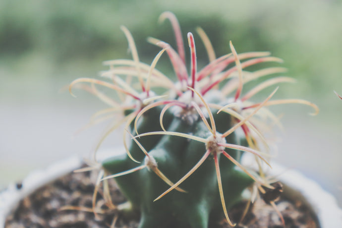 Shallow focus photography of cactus plant