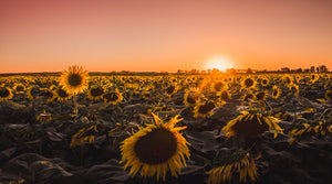 Bed of sunflowers - W-Photographie