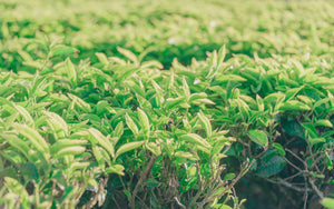 Green leafed plant - W-Photographie