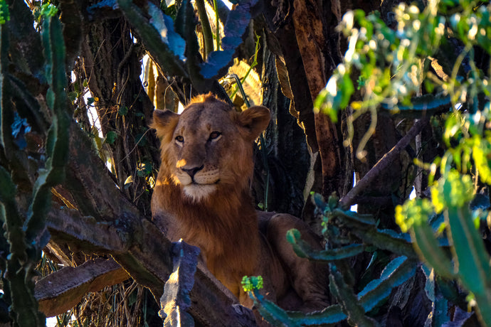 Lion on a tree - W-Photographie