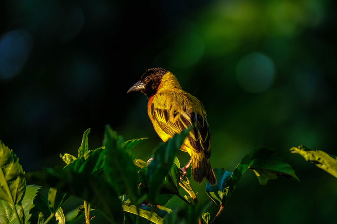 Shallow focus photography of yellow and brown bird on green leafed tree - W-Photographie