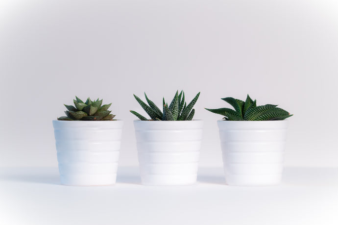 Three green assorted plants in white ceramic - W-Photographie
