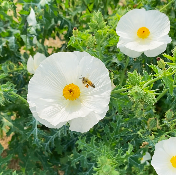 A honeybee visiting a flower in a New Barn pasture