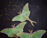 Three Luna Moth Hair clips on a black background surrounded by little golden stars