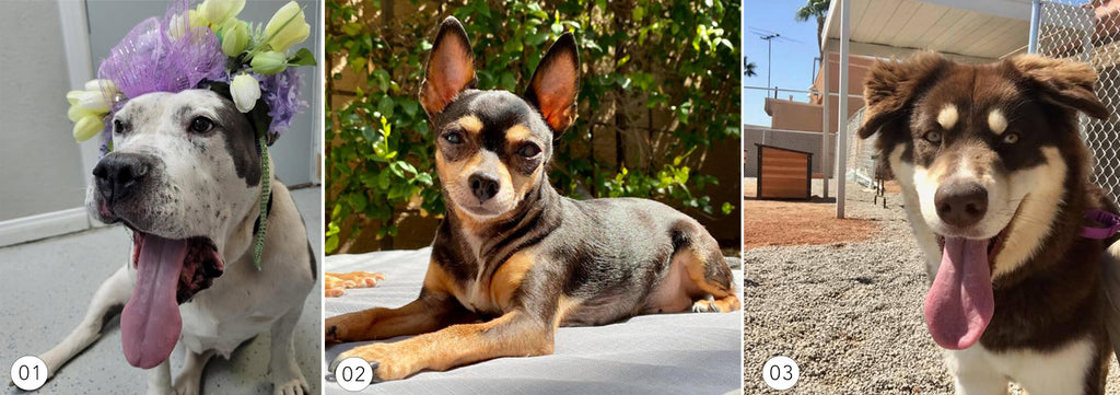 Adoptable dogs and rescue dogs from Hearts Alive Village