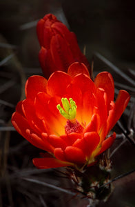 """Claret Cup"" Photograph by Frank Klein"