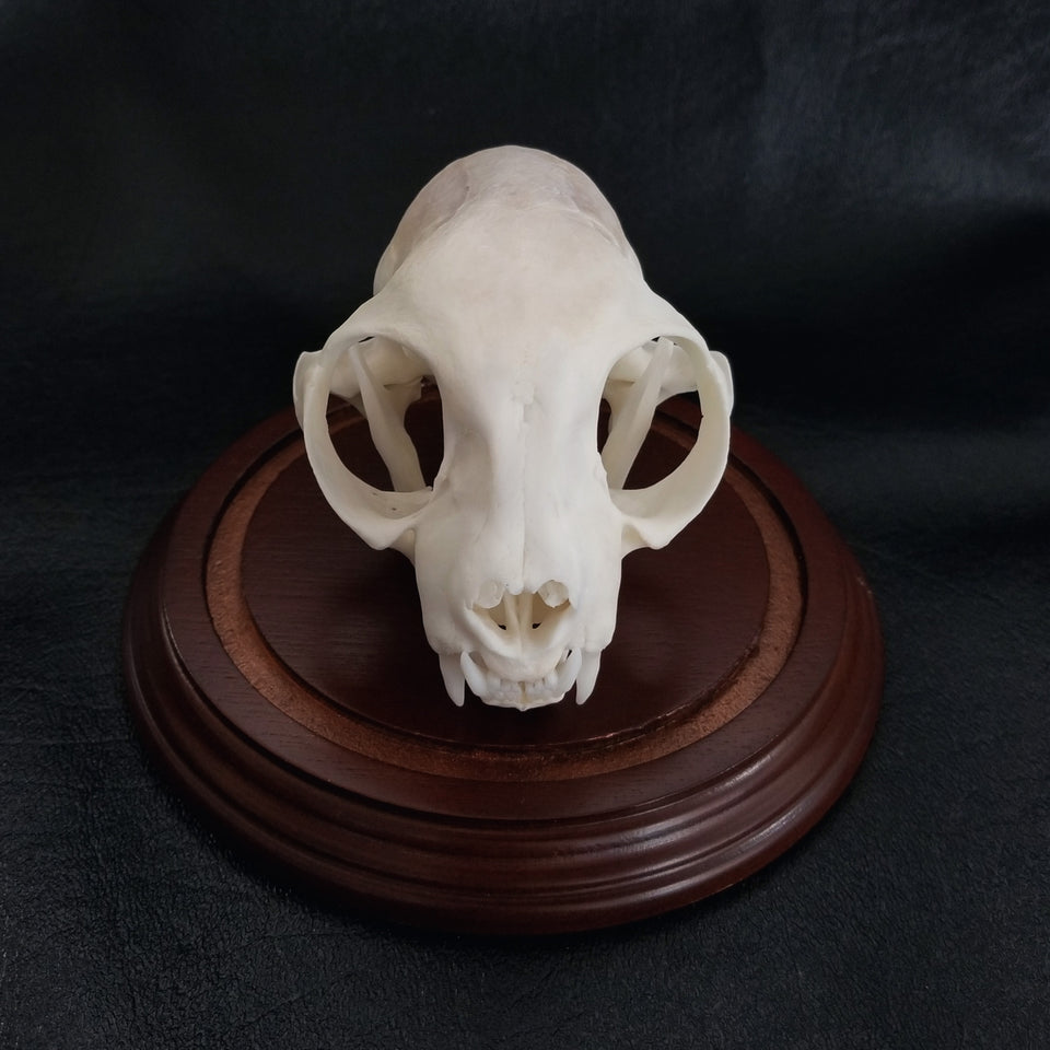 Cleaned cat skull from a pet preservation memorialization