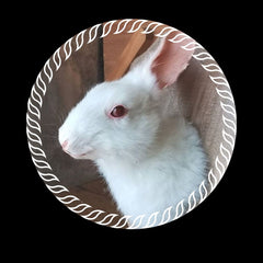 White Rabbit Taxidermy Shoulder Mount with decorative white illustrated border