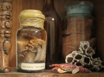 Small Octopus Wet Specimen