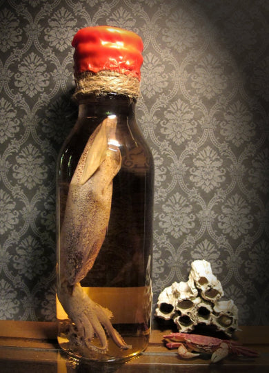 Squid Wet Specimen