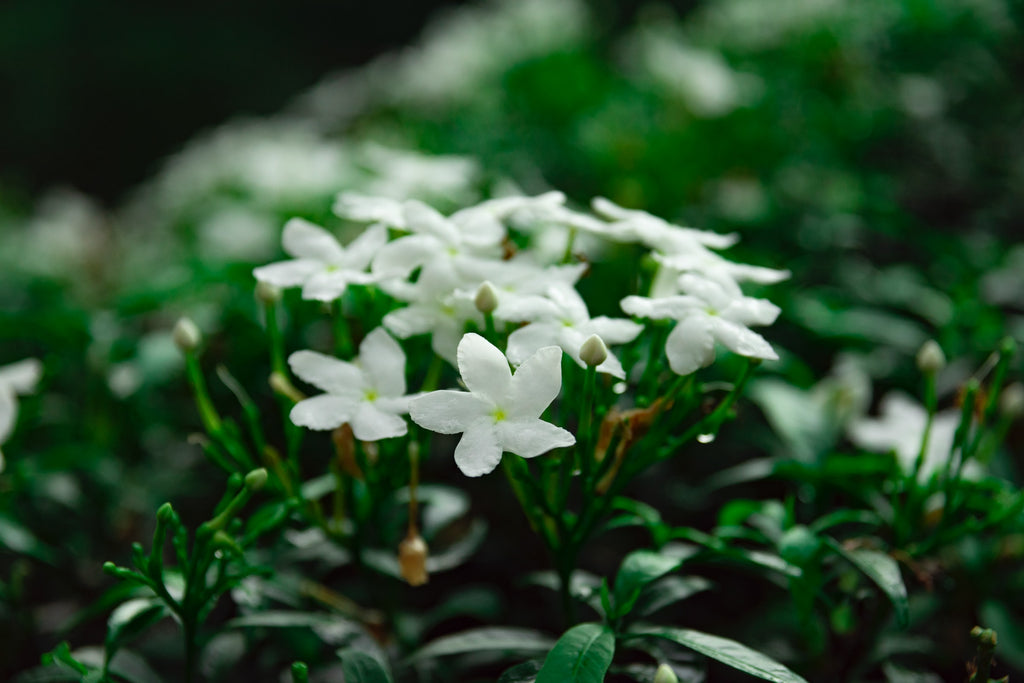 Jasmine flowers contain no caffeine