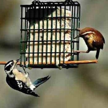 All Season Song Bird Suet Feed