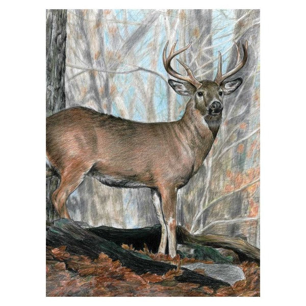 Whitetail Buck Colour by Pencil