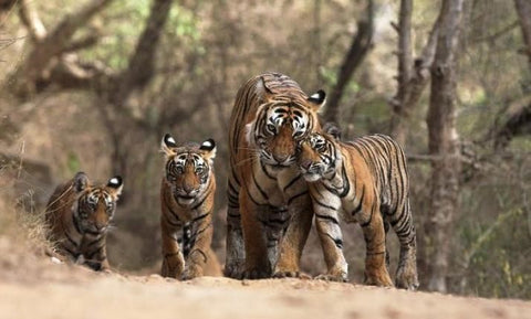 ALL TIGERS - Sariska - India