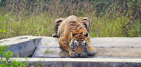 ALL TIGERS engagement 1% FOR THE PLANET